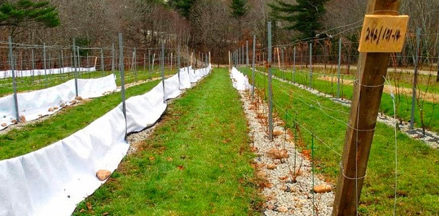 Покрывало из геотекстиля для винограда
